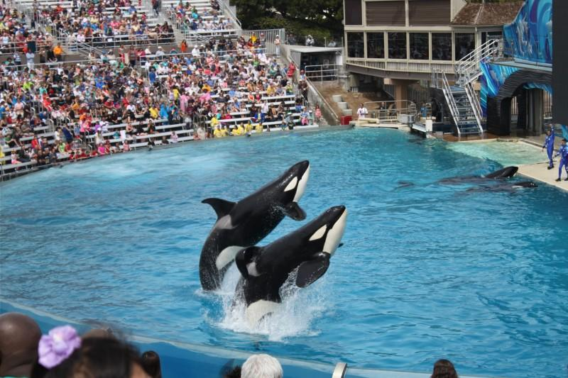 Collapsed+dorsal+fins%2C+seen+clearly+on+the+front+orca%2C+happens+to+100+percent+of+males+in+captivity+and+only+to+one+percent+of+orcas+in+the+wild%2C+according+to+the+Human+Society+of+the+United+States.+%0APhoto+used+with+permission+by+Laura+Kuehn.+