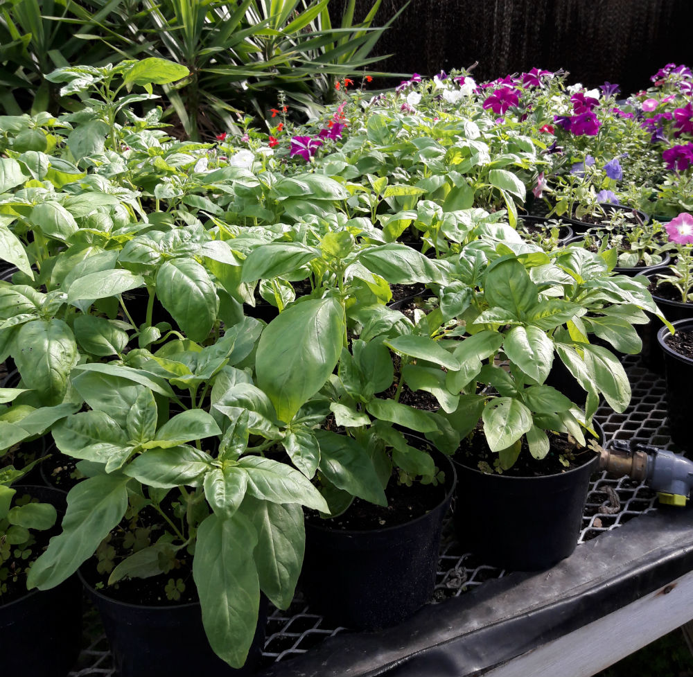 On Wednesday, the plants were laid out and prepared for Thursday's sale. Horticulture Club had a plant sale on Thursday as an attempt to sell their Blooming Fest plants and flowers.